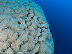 BD-090407-St-Johns-4072888-Plerogyra-sinuosa-(Dana.-1846)-[Rounded-bubblegum-coral].jpg